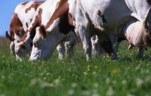Le Pôle Fromager : au service des filières AOP fromagères du Massif Central