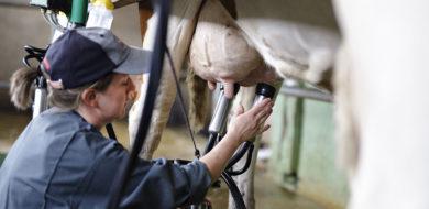 Devenez producteur/trice de lait en AOP Saint-Nectaire